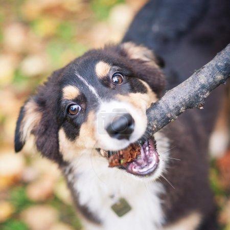 Australian Shepherd dog playing with stick