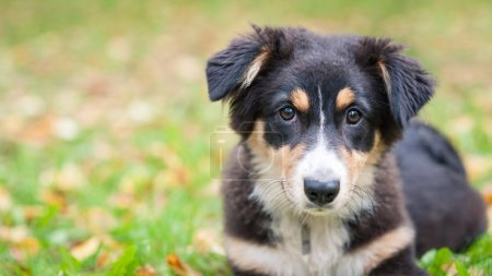 Australian Shepherd dog portrait outdoors
