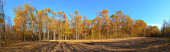 autumn forest panorama with yellow trees