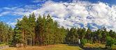 pine trees panorama