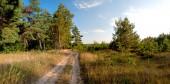 road near the pine trees panorama