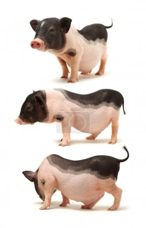 Cute black small-eared pigs on white background...