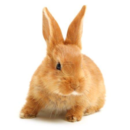 Bunny with big ears