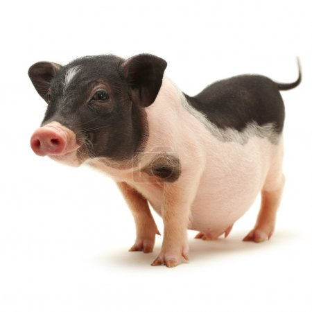 Small-eared pig