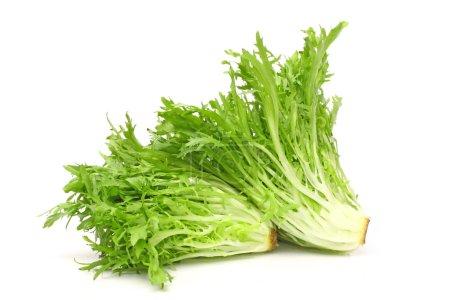 Green Fresh Sonchus