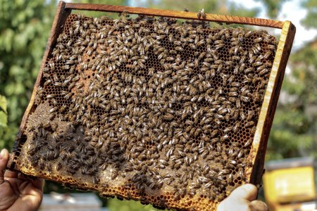 Apiarist holding a healthy honey bee frame covered with bees and