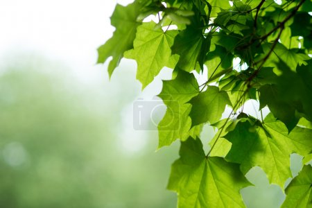 Photo for Fresh green leaves on the branch with daylight - Royalty Free Image