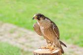 Ausgebildet für Jagd Raptor Vogel Falke oder Falken häuslich