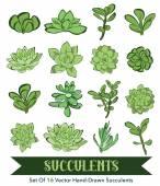 Senecio Aeonium Echeveria Graptopetalum Sedum Vector Succulents Hand Drawn 16 Set Seamless Pattern graphic design