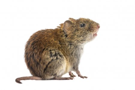 Sideview of wild Bank vole mouse (Myodes glareolus...
