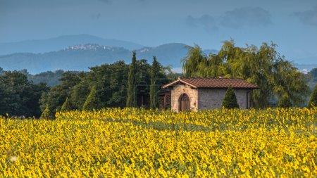 Soleil fleur champ paysage en Toscane, Italie