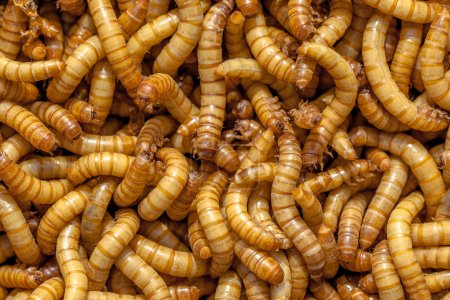 Mealworm Background