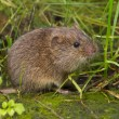 Vield vole (Microtus agrestis) is looking in camer...