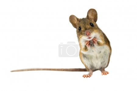 Surprised Field Mouse with clipping path