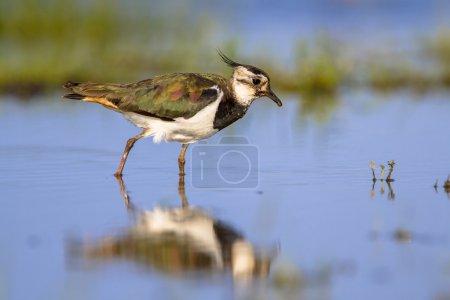 Photo pour Oiseau quinnat femelle (Vanellus vanellus) qui patauge dans des eaux peu profondes en se nourrissant d'insectes - image libre de droit