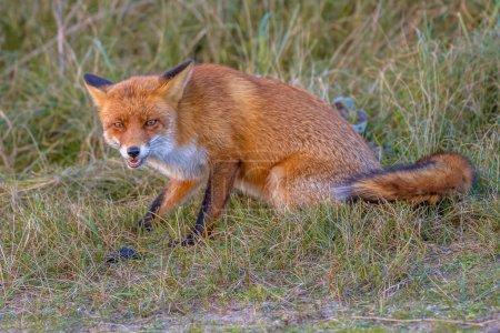 agressive red fox