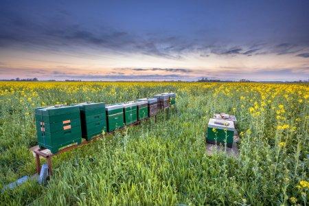 Photo pour Ruches d'abeilles dans un champ de canola au coucher du soleil près de Winschoten dans la province de Groningue, Pays-Bas - image libre de droit