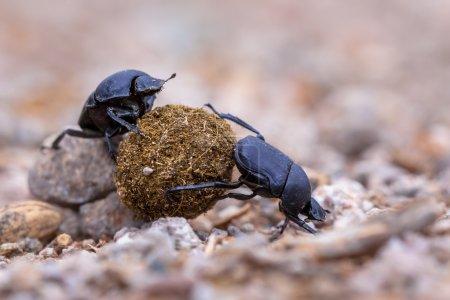 Two hard working dung beetles