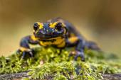 Frontal view of a Fire salamander in natural setting