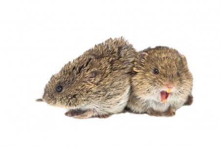 Couple of yelling Common Vole mice (Microtus arval...