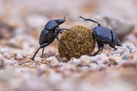 Two plugging dung beetles