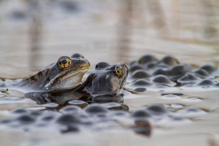 Pair of common frogs  with spawn