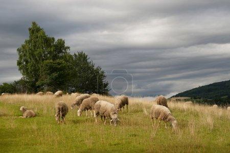 Photo pour Troupeau de moutons sur le pâturage. - image libre de droit