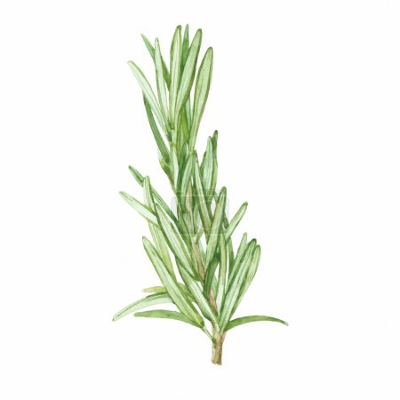 Illustration for Rosemary leaf isolated on white background. Vector, watercolor hand - Royalty Free Image