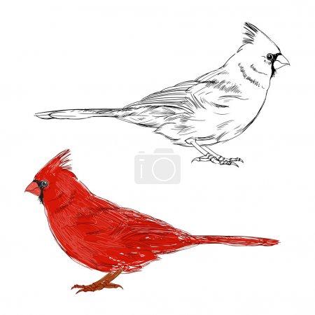 Cardinal birds set. Hand drawn isolated illustrati...
