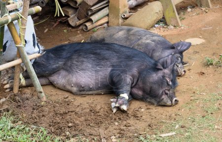 Pigs lay on the ground in a funeral ceremony in Tana Toraja