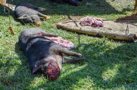 Pig slaughtered in a funeral ceremony in Tana Toraja