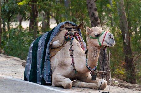 Camel wait for tourists