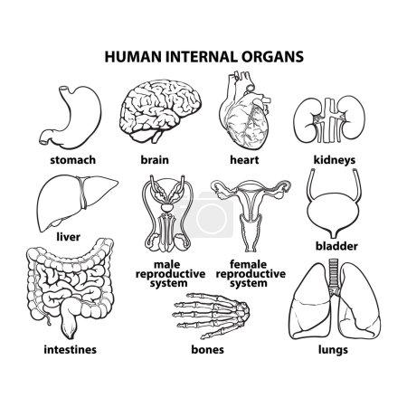 The internal organs of man