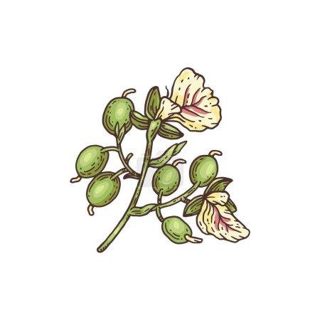 Illustration pour Branche fraîche de la cardamome. Cardamome dessin à la main image de style pour l'utilisation dans l'emballage, gravure illustration vectorielle colorée isolé sur fond blanc. - image libre de droit