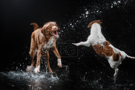 Dog Jack Russell Terrier and Dog Nova Scotia Duck Tolling Retriever, dogs play, jump, run, move in water