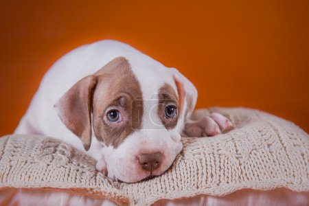 Pet American Pit Bull Terrier puppy cute