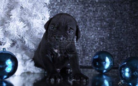 Dog breed Italian Cane Corso, puppy