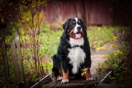 Dog breed Bernese Mountain Dog
