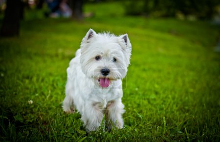 West Highland White Terrier in der Natur