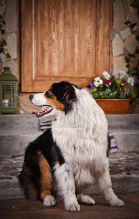 Dog breed Australian Shepherd