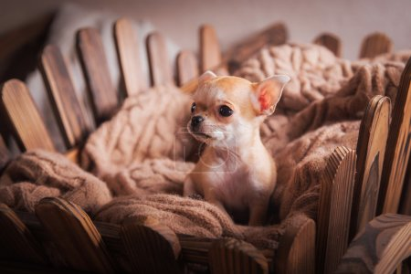 Dog breed Chihuahua, puppy