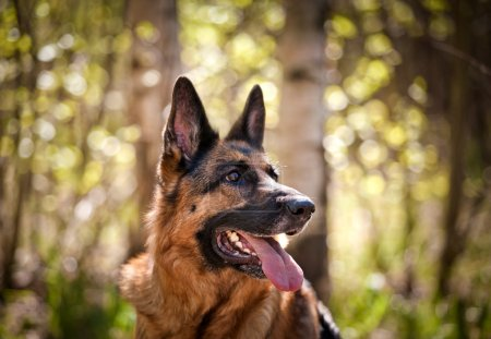 German Shepherd Dog Breed
