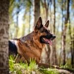 German Shepherd Dog Breed, playing, running, jumpi...