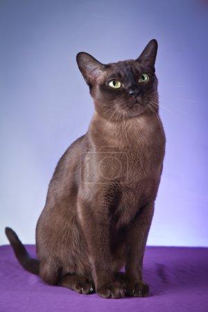 Burma cat