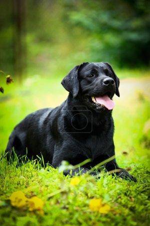 Labrador dog on the nature