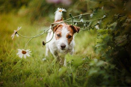 Photo pour Chien joyeux, Jack Russell Terrier jouant - image libre de droit