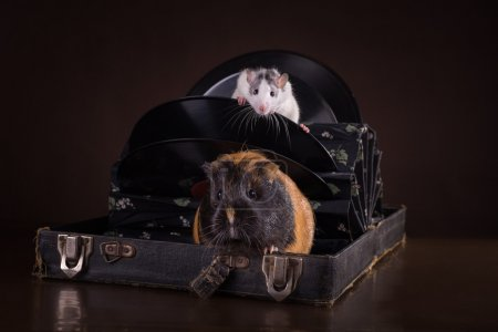 Rats and guinea pigs
