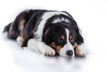 Dog breed Australian Shepherd, Aussie