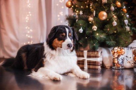 Dog breed Australian Shepherd, Aussie, Christmas and New Year