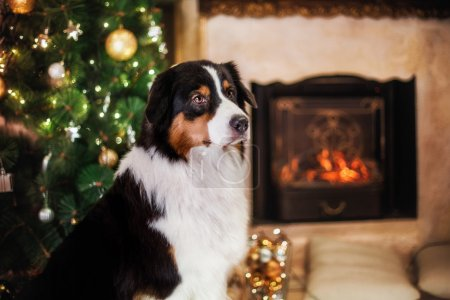 Dog breed Australian Shepherd, Aussie, Christmas and New Year
